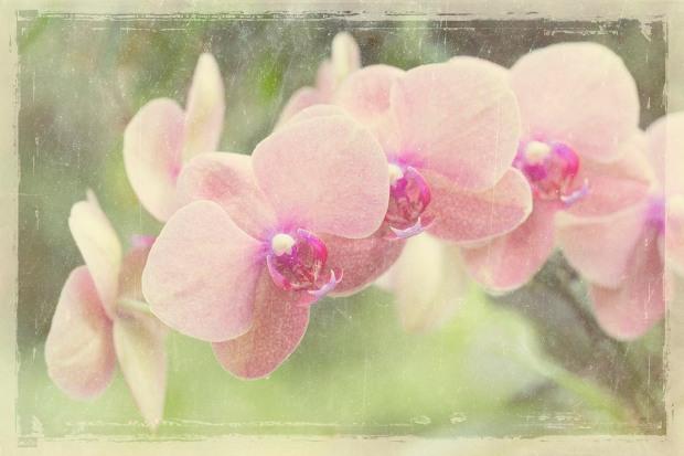 Hawaii Orchid